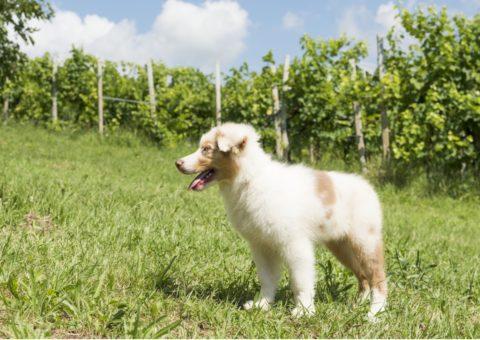animoR Australian Shepherd Italia Tasha