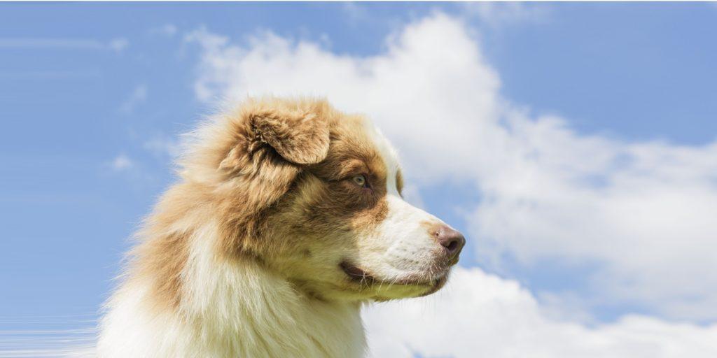 Animor Australian Shepherd Italia Touch